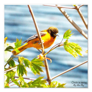 Oriole in spring print art photo