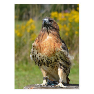 Orion the Red tailed hawk Postcard