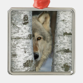 ornament with pic of gray wolf in some birch trees