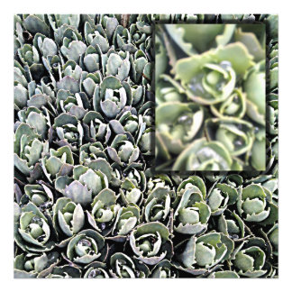 Ornamental cabbage photo print