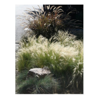 Ornamental Grasses Postcard