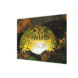 Ornate Horn Frog, Ceratophrys ornata, Native Canvas Print
