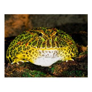 Ornate Horn Frog, Ceratophrys ornata, Native Postcard