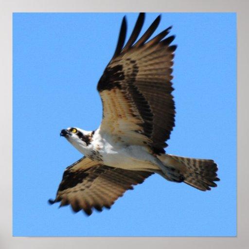 Osprey Bird Poster