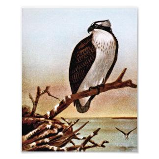 Osprey Bird Vintage Art Art Photo