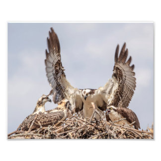 Osprey family portrait photo print