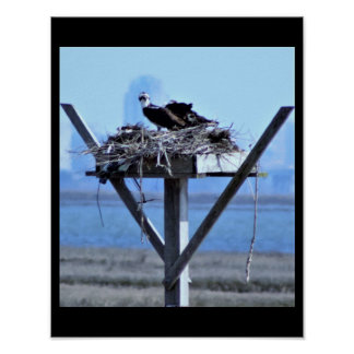 Osprey in Nest Poster