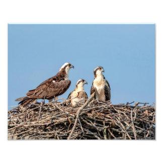 Osprey mom with her kids photo art