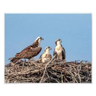 Osprey mom with her kids photo print
