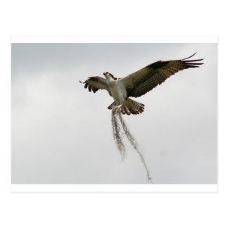 Osprey moss postcard