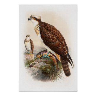 Osprey Sea Hawk John Gould Birds of Great Britain Poster