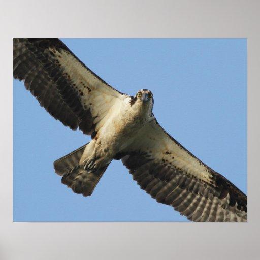 Osprey Staredown Poster