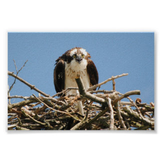 Osprey the bird of prey, sitting on here nest read poster