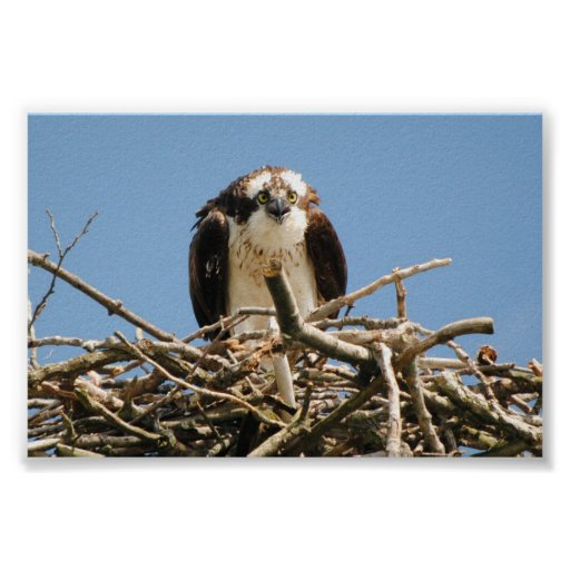 Osprey the bird of prey, sitting on here nest read posters