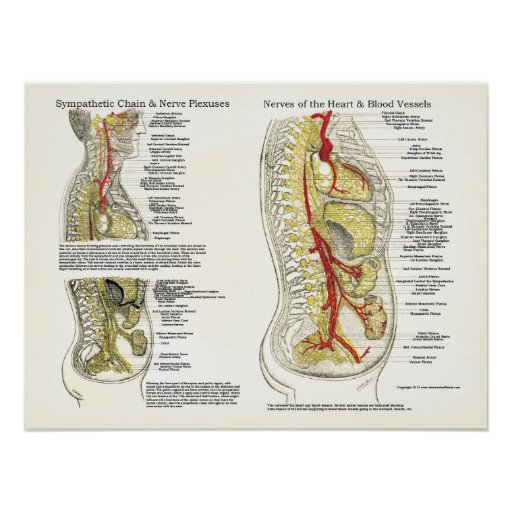 Osteopathic Sympathetic Chain Nerve Poster