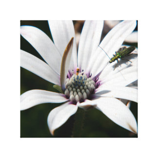 Osteospermum with insect canvas print