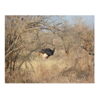 Ostrich, African Safari Collection Postcard