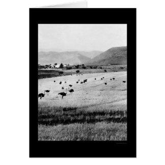 Ostrich Farm in Africa 1912 Card