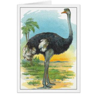 Ostrich in Africa Card