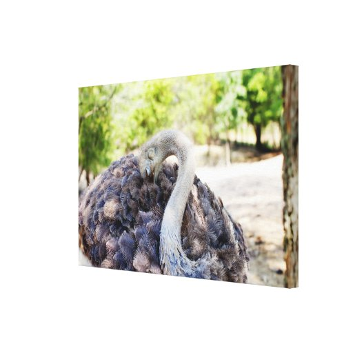 Ostrich Photograph Canvas Gallery Wrapped Canvas
