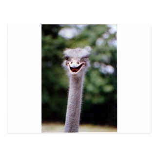 Ostrich Winking - Funny Postcard