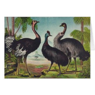 Ostriches, Card