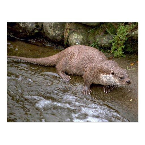 Otter in Spey Valley, Highland of Scotland Postcard