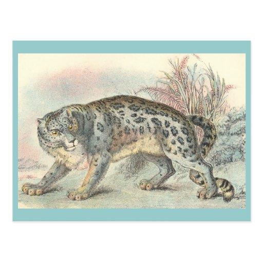 Ounce (Snow Leopard) Post Cards