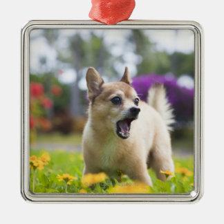 Our pet dog kekai. He's half pomeranian and half Christmas Ornament