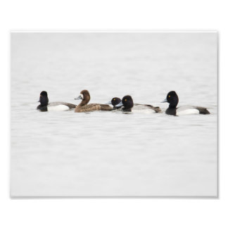 Outnumbered Female Lesser Scaup Duck Print