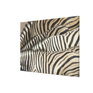 Overhead view of Burchell's Zebra (Equus Canvas Print