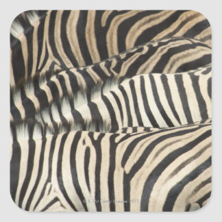 Overhead view of Burchell's Zebra (Equus Square Sticker