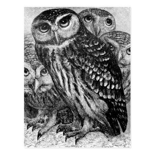 Owls, vintage engraving postcard