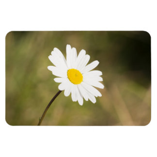 Oxeye Daisy Magnet