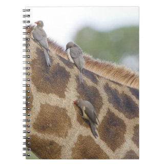 Oxpeckers on Giraffe, Kruger National Park, Note Books