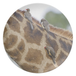 Oxpeckers on Giraffe, Kruger National Park, Plate