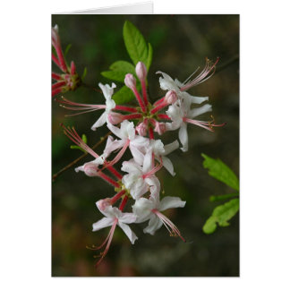 PA Wildflowers - Wild Azalea Notecard