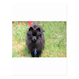 Pablo the Pomeranian Postcard