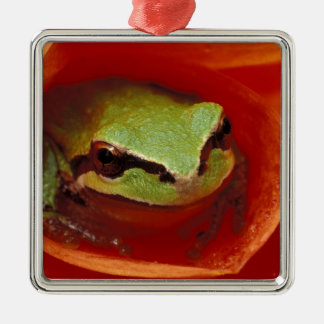 Pacific Chorus frog in dahlia. Credit as: Christmas Ornament