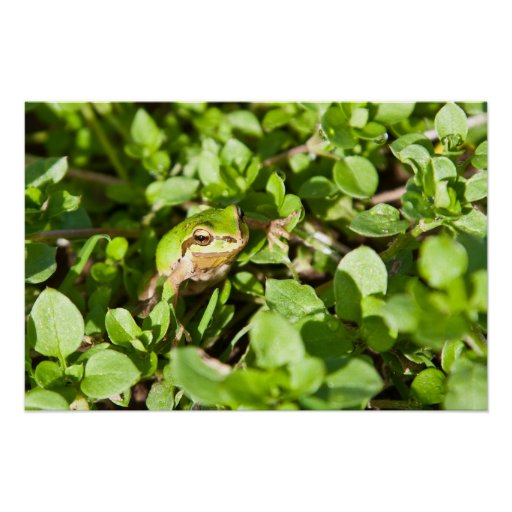 Pacific Chorus Frog Poster