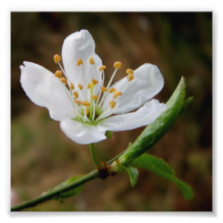 Pacific Crabapple Photo Print