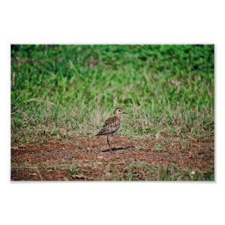 Pacific Golden Plover Poster
