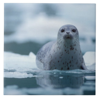 pacific harbor seal, Phoca vitulina richardsi Large Square Tile