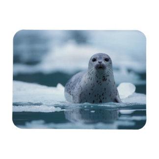 pacific harbor seal, Phoca vitulina richardsi Magnet