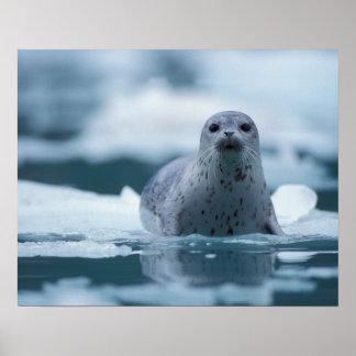 pacific harbor seal, Phoca vitulina richardsi Poster
