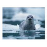 pacific harbour seal, Phoca vitulina richardsi