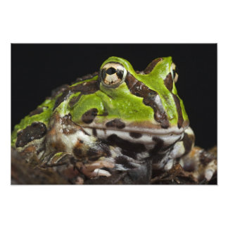 Pacific Horned Frog Ceratophrys stolzmanni) 2 Art Photo