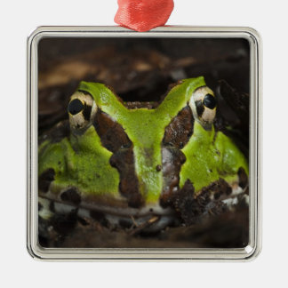 Pacific Horned Frog Ceratophrys stolzmanni) 2 Christmas Ornament