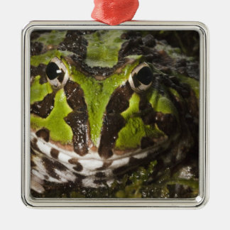 Pacific Horned Frog Ceratophrys stolzmanni) 3 Christmas Ornament