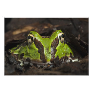 Pacific Horned Frog Ceratophrys stolzmanni) 3 Photo Print